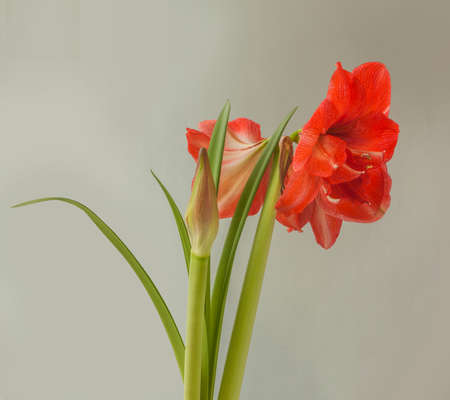 Blooming double hippeastrum (amaryllis) No. 28 on a gray background