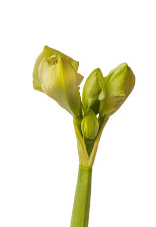 """Close up of emerging bud of Amaryllis (Hippeastrum) Double Galaxy Group """"Amadeus Candy"""" on a white background isolated."""
