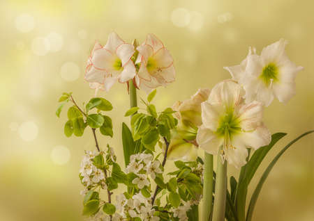 """Spring background with blooming hippeastrum (amaryllis) Galaxy Group """"Princes Claire"""" and with blossoming pear branches. Background for calendar, banner, postcards."""