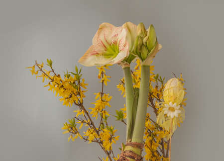"""Concept of spring - blooming hippeastrum (amaryllis) """"Princes Claire"""" on background of flowering Forsythia branches and Easter eggs"""
