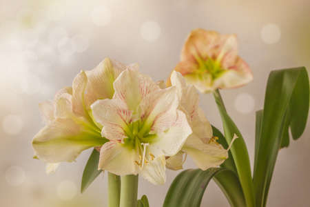 """Blooming creamy hippeastrum (amaryllis) """"Princes Claire"""" on a gray background"""