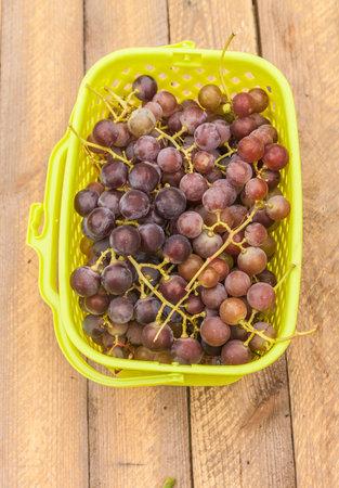 Harvest of technical grapes in a plastic basket Archivio Fotografico