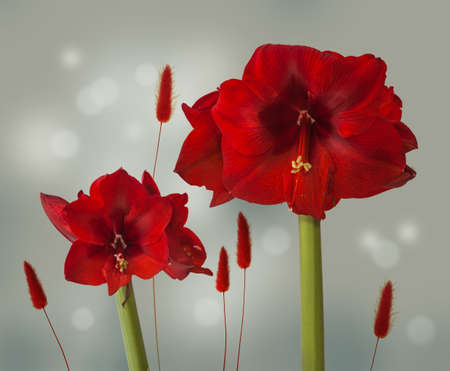 Two red hippeastrum on a gray background with spikelets. Background for plywood, cards, calendar