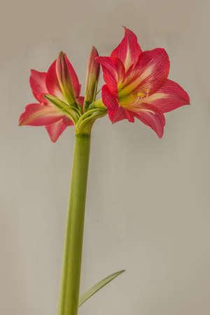 "Flowering hippeastrum (amaryllis) Diamond Group ""Sleeping Beauty"" (""Tres Belle"") on a gray background"