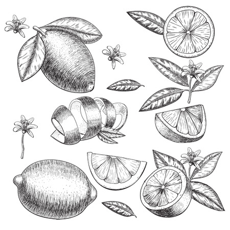 lime or lemon set. Whole lemon, sliced pieces half, leave sketch. Fruit engraved style illustration. Retro illustration. Detailed citrus drawing. Great for water, detox drink, natural cosmetics Ilustracja