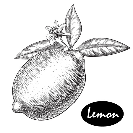 lime or lemon set. Whole lemon, sliced pieces half, leave sketch. Fruit engraved style illustration. Retro illustration. Detailed citrus drawing. Great for water, detox drink, natural cosmetics Ilustração