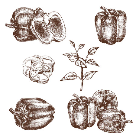 peppers: illustration set of bell peppers . Sketch style capsicums. Health eco food fresh farm drawing. Illustration