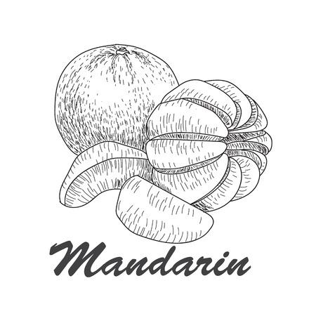 mandarins: Hand made vector sketch of mandarins  in vintage style.