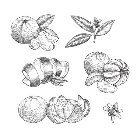 Set of hand made vector sketch mandarins  in vintage style. Illustration