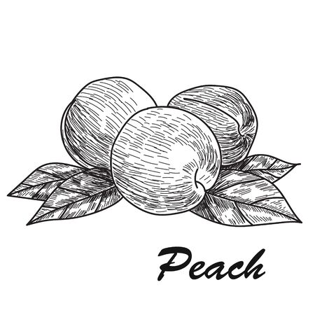 Hand drawn sketch style peach. Ripe whole peach and peach quarter. fresh farm fruits vector illustration.