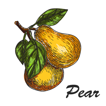 vector hand made sketch illustration of engraving pear on a branch