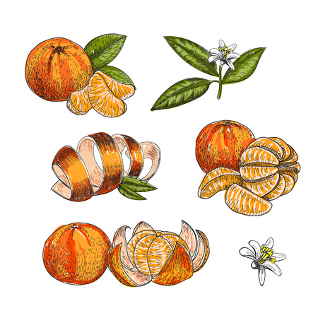 Hand made vector sketch of mandarins made in vintage style.
