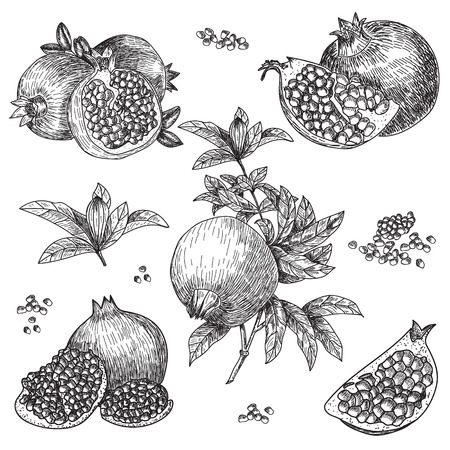 Hand drawn sketch style pomegranates set. Pomegranates with seeds and leafs. Sketch style vector illustration. Organic food vector.