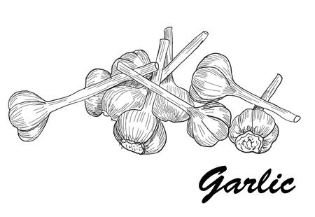 cloves: Modern Vector hand drawn garlic. Stylized black and white sketch.