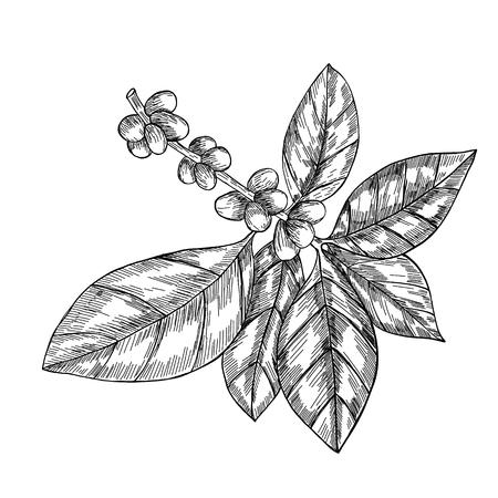 Kaffeezweig mit Blatt, Beere, Kaffeebohne, Frucht, Samen. Natürliches organisches Koffein. Handgezeichnete Vektor-Illustration. Abbildung auf weißem Hintergrund für Shop. Grüner Kaffee