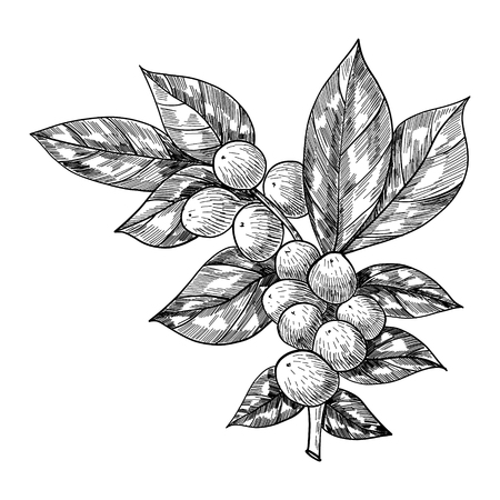 Koffietak met blad, bes, koffieboon, fruit, zaad. Natuurlijke organische cafeïne. Hand getrokken vectorillustratie. Illustratie op witte achtergrond voor winkel. Groene koffie