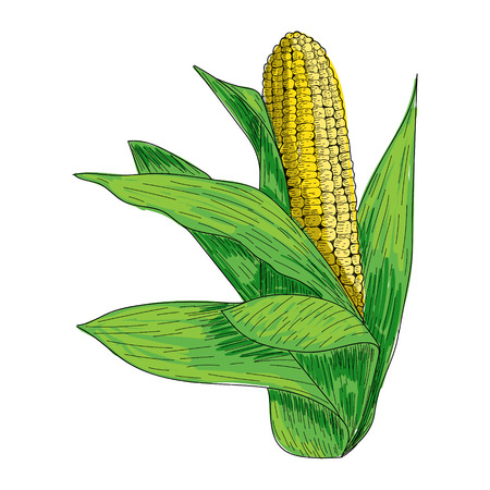 Corn hand drawn ink illustration. Sketch Fresh organic vegetable, herb engraved. Detailed food drawing.