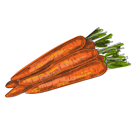 Carrot hand drawn vector illustration Isolated Vegetable engraved style object with sliced pieces. Detailed vegetarian food drawing. Farm market product. Great for menu, label, icon.