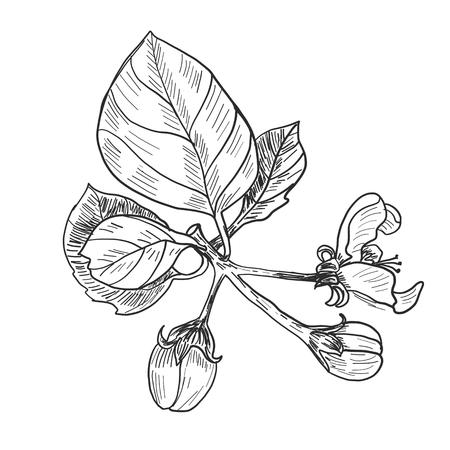Sketch. Twig sakura blossoms . Vector illustration Stock Illustratie