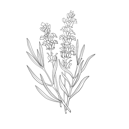 Hand drawn botanical illustration of lavender. Vintage collection of medical herbs and plants. Vector hand-drawn sketch for cosmetics, labels, packages and textiles. Standard-Bild - 114948312