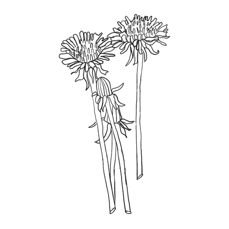 Dandelion flower vector drawing set. Isolated wild plant and flying seeds. Herbal engraved style illustration. Detailed botanical sketch Standard-Bild - 114948313