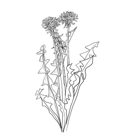 Dandelion flower vector drawing set. Isolated wild plant and flying seeds. Herbal engraved style illustration. Detailed botanical sketch Standard-Bild - 114948314