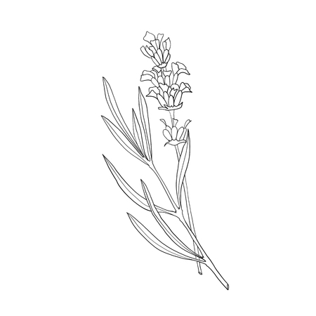 Hand drawn botanical illustration of lavender. Vintage collection of medical herbs and plants. Vector hand-drawn sketch for cosmetics, labels, packages and textiles. Ilustração