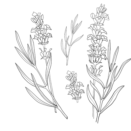 Hand drawn botanical illustration of lavender. Vintage collection of medical herbs and plants. Vector hand-drawn sketch for cosmetics, labels, packages and textiles. Illustration