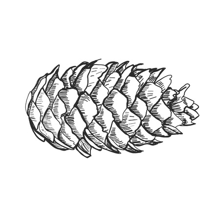 Detailed vector illustration of a pine cone isolated on white