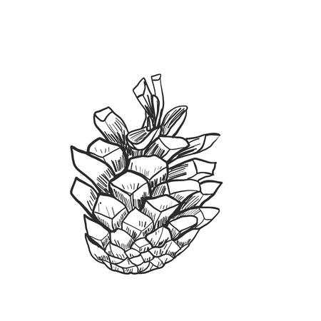 Detailed vector illustration of a pine cone isolated on white Standard-Bild - 114948321