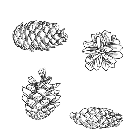 Detailed vector illustration of a pine cone isolated on white Standard-Bild - 114948323