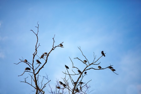 dead branch with flock of starling birds photo