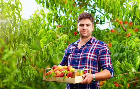 gardener holding a crate of peach fruit, harvesting photo