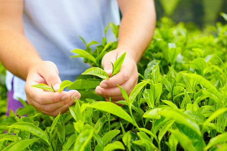 closeup of mans hands harvesting tea leaves
