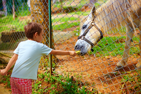feeding through: boy feeding pony through the fence on animal farm. focus on horse