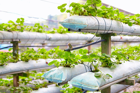 factory farm: growing strawberries in greenhouse