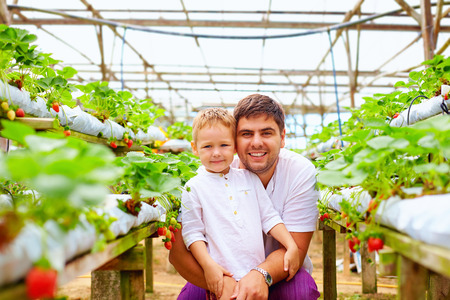 factory farm: father and son harvesting strawberries in greenhouse Stock Photo