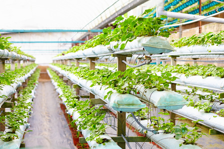 hydroponic: growing strawberries in greenhouse