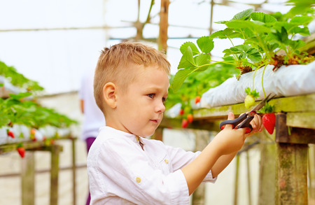 hydroponic: father and son harvesting strawberries in greenhouse Stock Photo