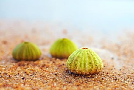 sea beach: group of green sea urchin shells on sandy beach