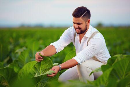 tobacco: skilled plantation owner checks tobacco leaves on farmland