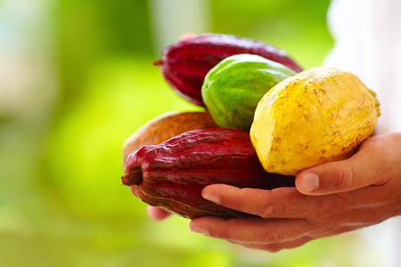 man holding the different sorts of colorful cocoa pods in hands