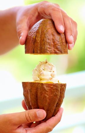 opens: man opens ripe cocoa pod in hands