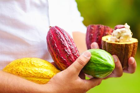 homme tenant les différentes sortes de gousses de cacao colorées dans les mains
