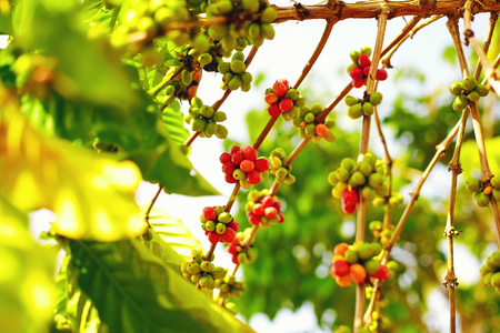 ripen: colorful berries coffee beans ripen under the sun Stock Photo