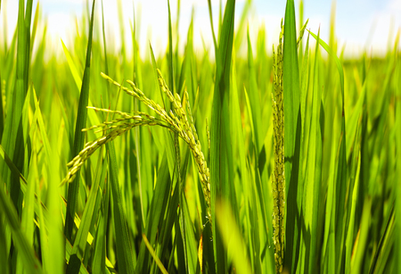 ripen: young stalks of rice ripen under the sun on paddy field Stock Photo