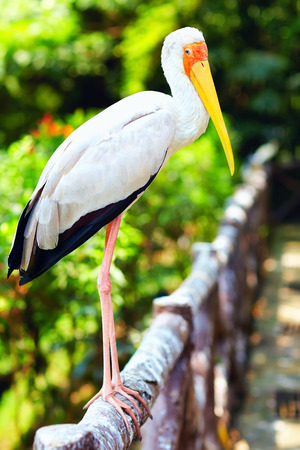 curved leg: portrait of Yellow-billed Stork Stock Photo