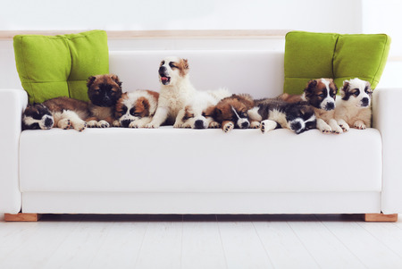 portrait of nine cutest caucasian shepherd puppies lying in row on sofa at home Stockfoto