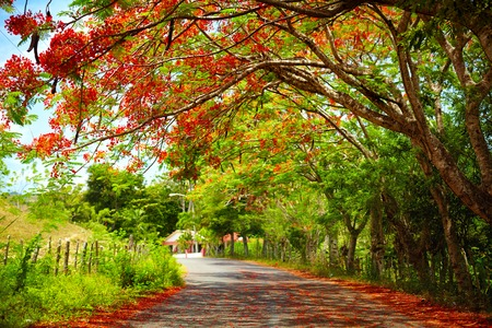 leguminosae: fascinating road under the shadow of blooming Delonix Regia tree, that leads to Pico Isabel de Torres, Dominican Republic