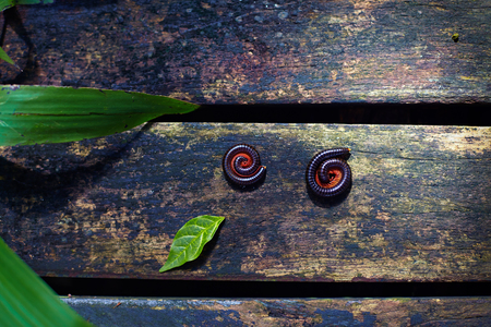 two millipede insects twisted in protective reaction laying on wooden path in tropical garden Imagens - 88407469